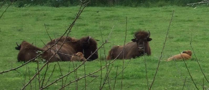 Buffalo in Victor